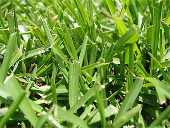 centipede_lawn_grass_seed